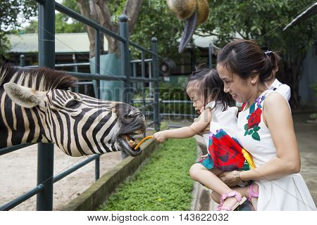 Hanoi, Vietnam - Aug 21, 2016: Asian girl feeding a zebra at a zoo with special kind of food in Thien Duong Bao Son park, about 20km from Hanoi center.
