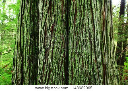 a picture of an exterior Pacific Northwest forest with a mossy old growth Western red cedar tree