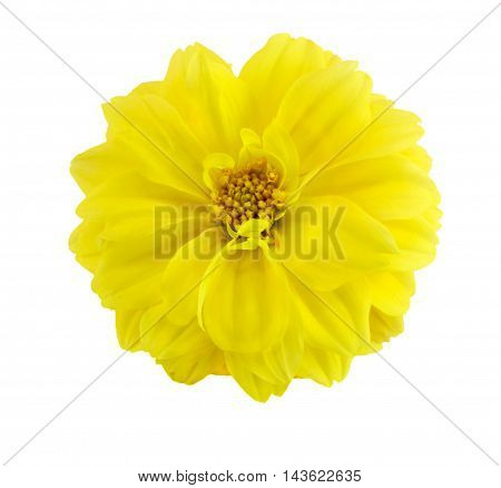 Yellow Dahlia blossom isolated on white background
