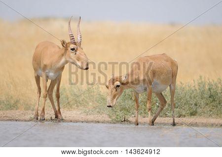 Saiga antelopes (Saiga tatarica) near the watering place in the morning. Federal nature reserve Mekletinskii Kalmykia Russia August 2015