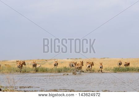 Critically endangered wild Saiga antelopes (Saiga tatarica) run from watering in steppe. Federal nature reserve Mekletinskii Kalmykia Russia August 2015