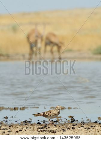 Lark and Saiga antelopes (Saiga tatarica) at the watering place in the morning. National reserve Cherniye Zemly (Black Earth) Kalmykia Russia August 2015