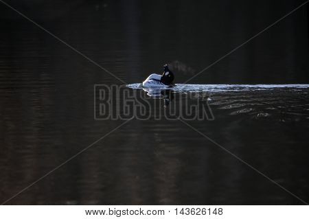 Common Goldeneye (Bucephala clangula) at early spring in Moscow region Russia