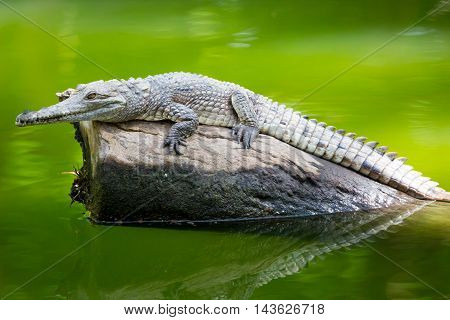 A crocodile waits patiently for prey in Queensland, Australia