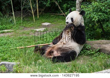 panda sitting on the grass and eats bamboo