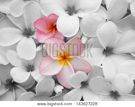 Beautiful color tropical frangipani flower blooming background