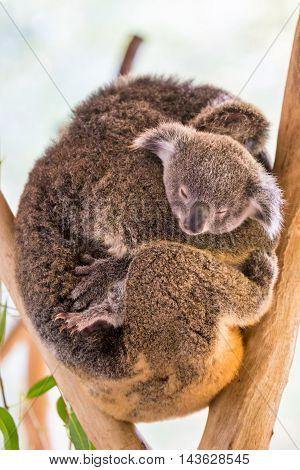 A koala and it's joey sit in a tree in far nth Queensland, Australia