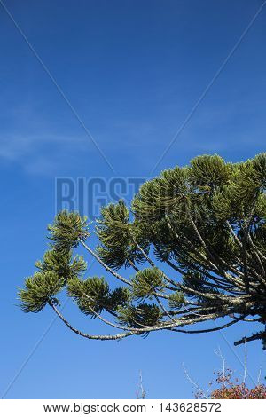Closeup Of Upper Part Of Araucaria Angustifolia ( Brazilian Pine) With Sky And Clouds Background, Ca