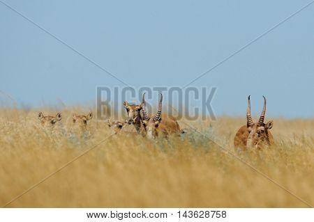 Wild Saiga antelopes (Saiga tatarica) in morning steppe. Federal nature reserve Mekletinskii Kalmykia Russia August 2015