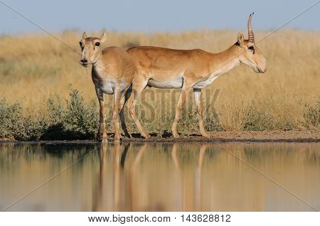 Critically endangered wild Saiga antelopes (Saiga tatarica male and female) at watering in steppe. Federal nature reserve Mekletinskii Kalmykia Russia August 2015