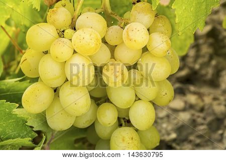 The yellow grape hanging in the wineyard.