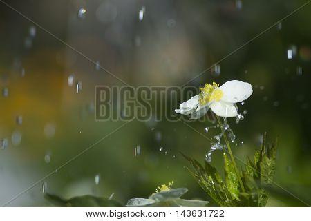 Sun, rain and flower in the garden