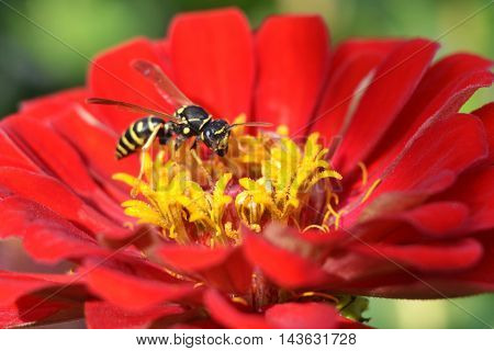 wasp on a red flower eating nectar