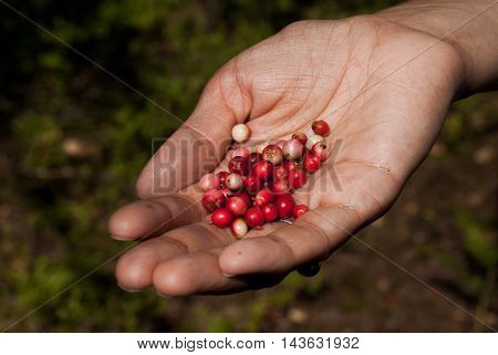 Red and pink berries cowberries on a palm
