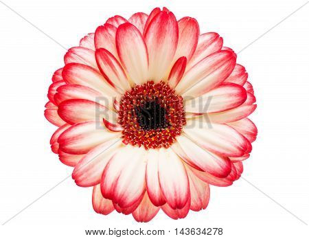 beautiful daisy, decoration gerbera on a white background