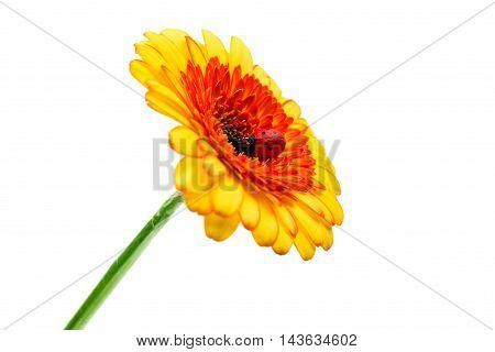 gerbera daisy, decoration on a white background