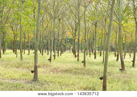 Plantation rubber. rubber trees cultivated in rows of rubber trees in plantation agriculture.