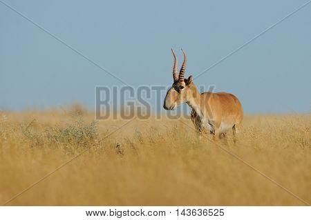 Wild mail Saiga antelope (Saiga tatarica) in morning steppe. Federal nature reserve Mekletinskii Kalmykia Russia August 2015