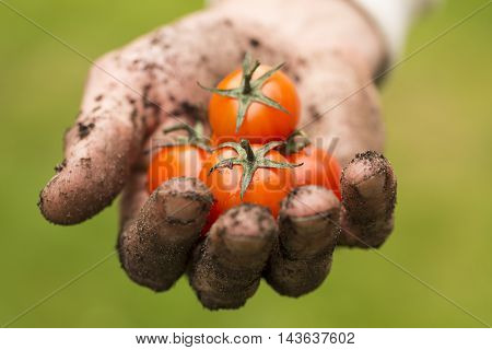 natural food - dirty farmer hand with fresh tomatoes
