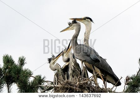 Adult bird arrived to feed Grey Heron (Ardea cinerea) juvenile birds in the nest. National park Plesheevo Lake Yaroslavl region Russia