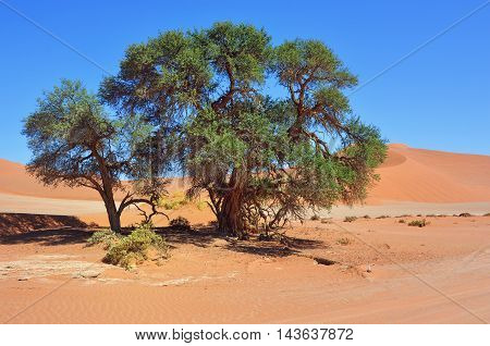 Green Camelthorn Trees against red dunes and blue sky in Sossusvlei. Namib-Naukluft National Park Namibia Africa