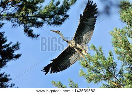 Grey Heron (Ardea cinerea) flying among pine trees. National park Plesheevo Lake Yaroslavl region Russia