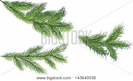 Three green spruce branches on a white background, vector