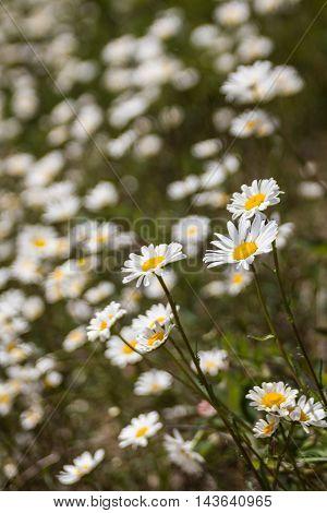 White Or Common Daisy Bellis Perennis Flower