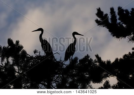 Two Grey Heron (Ardea cinerea) juvenile birds in the nest silhouette. National park Plesheevo Lake Yaroslavl region Russia