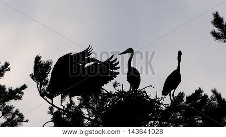 Three Grey Heron (Ardea cinerea) juvenile birds in the nest silhouette. National park Plesheevo Lake Yaroslavl region Russia