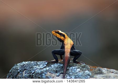 Black and orange lizard on a rock