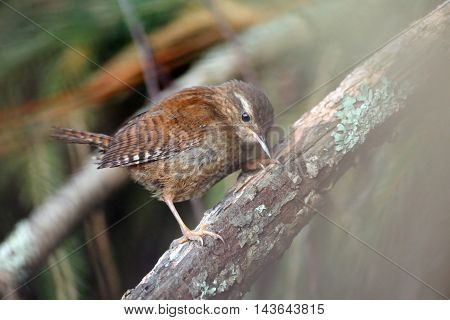Wren (Troglodytes troglodytes) seeks for feed at tree branch. Yaroslavl region Russia