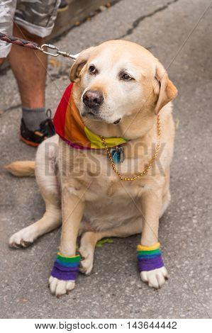 Cute labrador dog wearing gay rainbow clothes