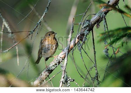 Juvenile European Robin (Erithacus rubecula) perching in fir forest. Yaroslavl region Russia