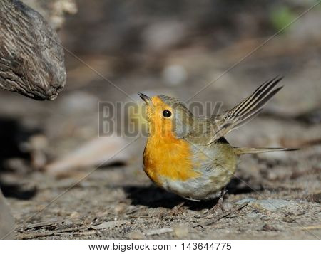 Flapping wings European Robin (Erithacus rubecula) at ground. Moscow region Russia