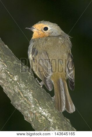 Perching European Robin (Erithacus rubecula) attree trunk. Moscow region Russia