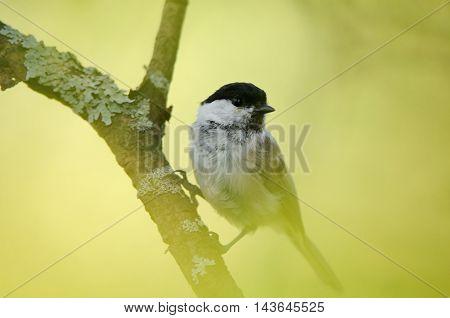 Perching Willow tit (Poecile montanus Parus montanus). Yaroslavl region Russia