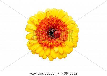 gerbera  beautiful flower on a white background