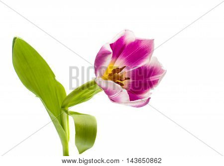 tulip pink flower on a white background