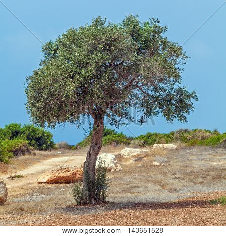 Olive Tree And Golf Field,  Paphos