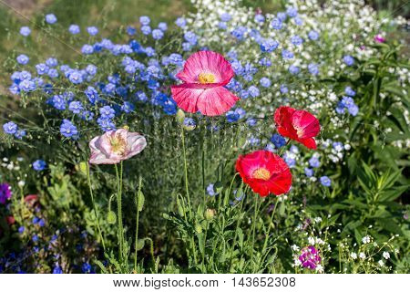 Flowers growing in the garden, poppy, red, white and blue flowers