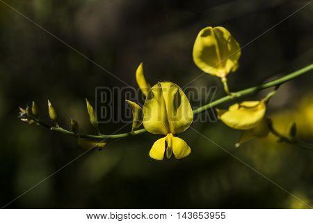 yellow broom flowers sunny day outdoor macro closeup