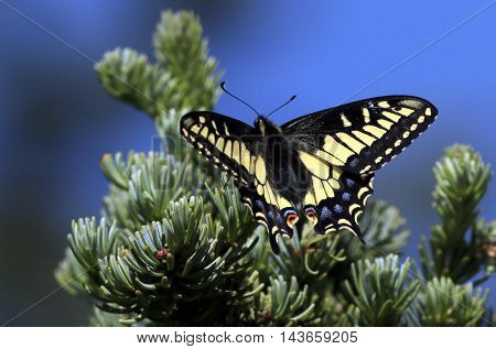 An Anise Swallowtail butterfly resting on a tree branch