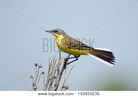 Perching male Yellow wagtail (Motacilla flava) at summer meadow. Near Moscow Russia