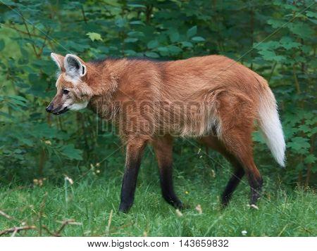 Maned wolf (Chrysocyon brachyurus) walking around in its habitat