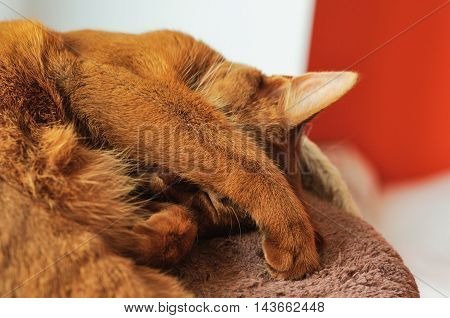 Purebred abyssinian cat sleeping on scratching post indoor