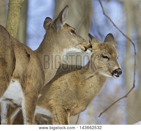 Beautiful photo of a pair of the cute wild deers licking each other