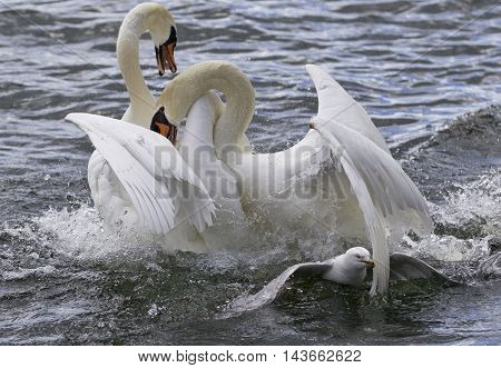 Amazing fight between the swans in the lake