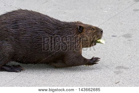 Beautiful picture with a North American beaver