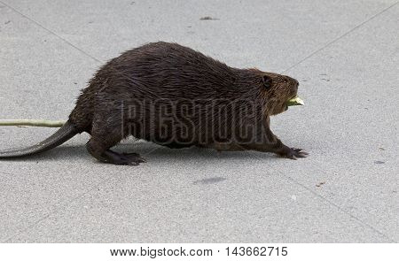 Beautiful photo of a North American beaver in front of the grass